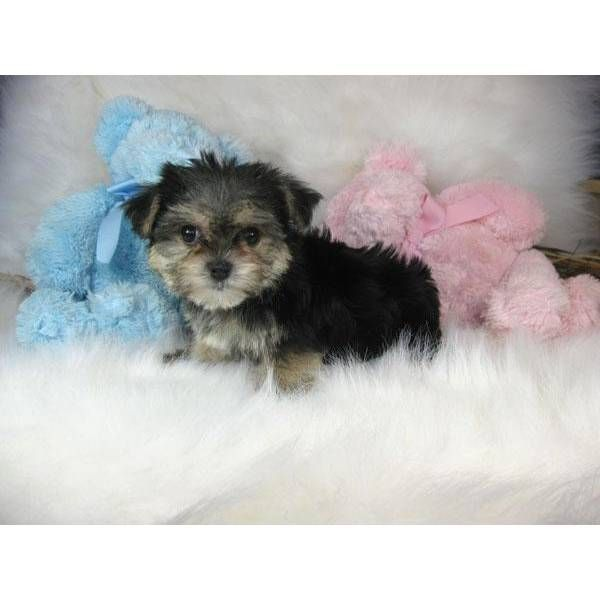 (Morkie puppies for sale in kent). (morkie for sale ...