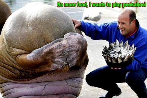 walrus funny
