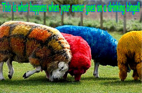 Sheep funny