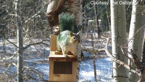 St Patrick's jour écureuil