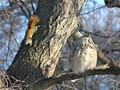 The Owl & the Squirrel sat in a tree...  - squirrels photo