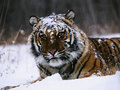Tigers - animals screencap