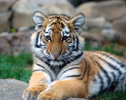Animals wallpaper containing a tiger cub, a bengal tiger, and a tiger entitled Tigers