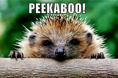 hedgehog funny