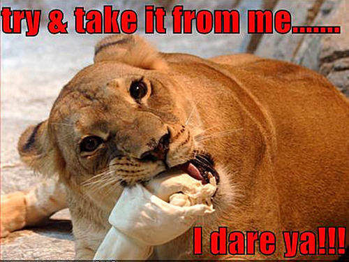Animal Humor images lion funny wallpaper and background photos