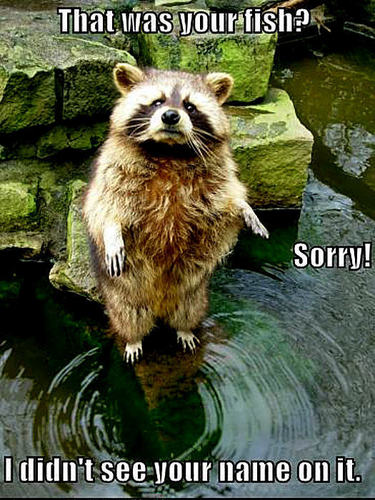 Animal Humor wallpaper called raccoon funny