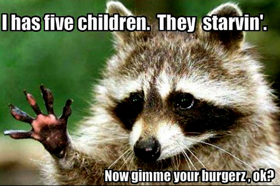 raccoon-funny-animal-humor-20225775-950-