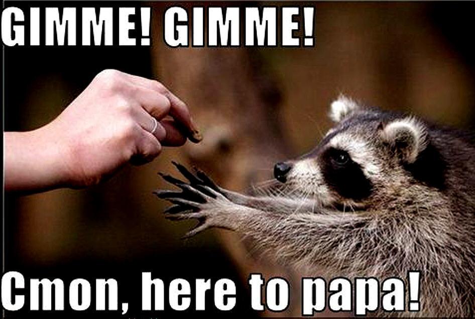 raccoon funny  Animal Humor Photo 20225793  Fanpop
