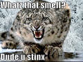snow leopard funny - animal-humor photo