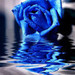 Blue Rose - channyfan121-the-awesome-club icon