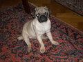 My Pug Viky :)