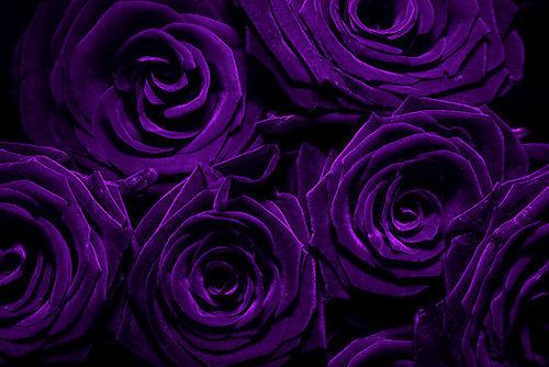 Purple 玫瑰 for susan