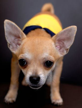 The Cheeky chihuahua