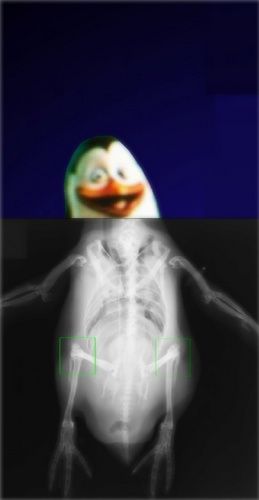 The Skeletal System of a Penguin - penguins-of-madagascar Photo