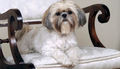 The Stunning Shih Tzu