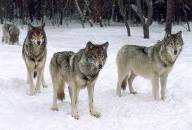 serigala <3