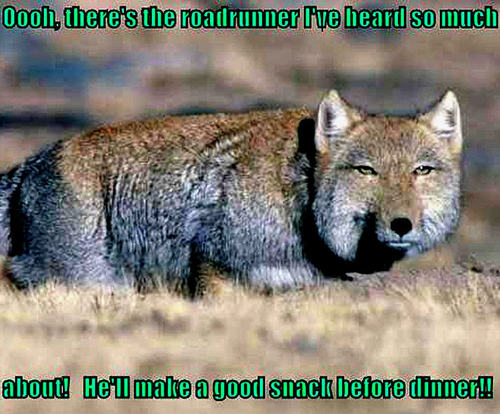 coyote funny - animal-humor Photo
