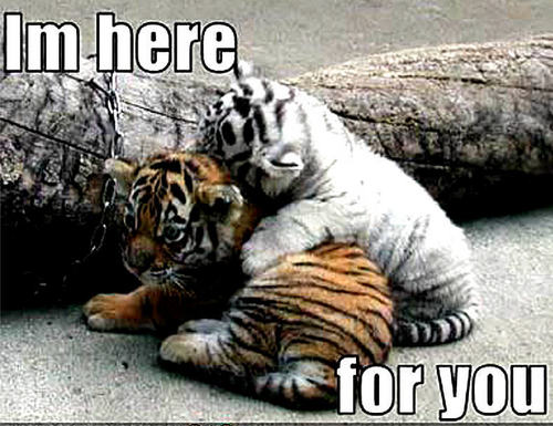 Animal Humor wallpaper with a tiger cub entitled tiger funny