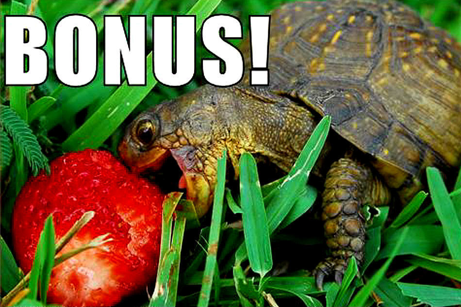 Funny 3d Animal Turtle Wallpapers Hd: Pin Sandwiches-funny-turtles-hamburgers-wallpapers-free