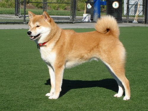 funkyrach01 achtergrond entitled Beautiful Japanese Akita