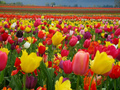 Beautiful Tulips ♥ - bright-colors wallpaper