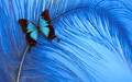 Blue Butterfly - yorkshire_rose wallpaper