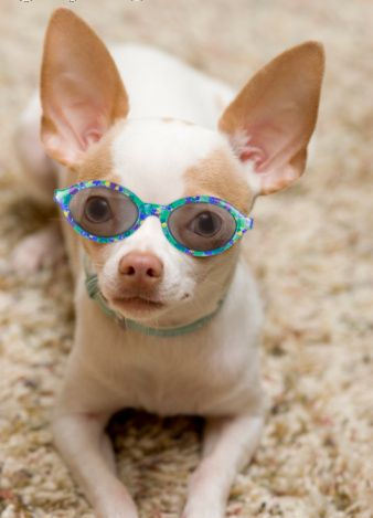 Cute Chihuahua Puppy - Chihuahuas Photo (20543670) - Fanpop fanclubs
