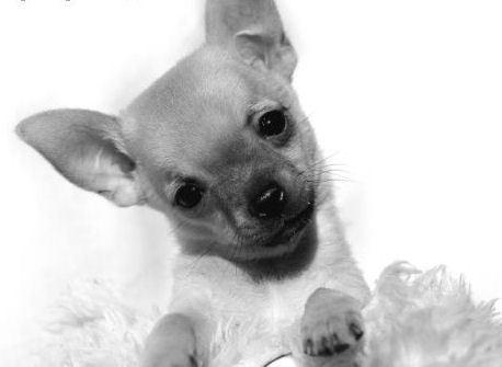 Cute chihuahua anak anjing, anjing