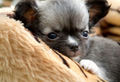 Cute Chihuahua Puppy  - chihuahuas photo