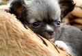 Cute チワワ 子犬