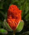 Flower - peterslover photo