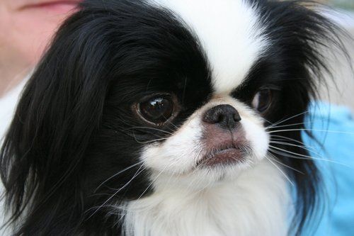 funkyrach01 kertas dinding containing a japanese spaniel entitled Lovely Japanese Chin
