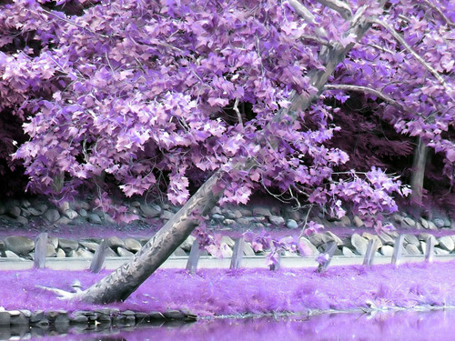 Purple дерево