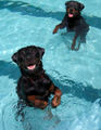 rottweiler Welpen having fun in the pool :D