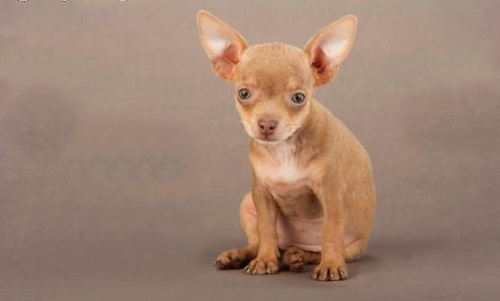 Chihuahuas 壁紙 containing a チワワ called So Cute :)