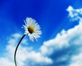White daisy & blue sky ♥ - bright-colors wallpaper