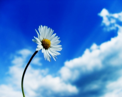 White daisy & blue sky ♥