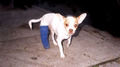 Awwwww.... - chihuahuas photo