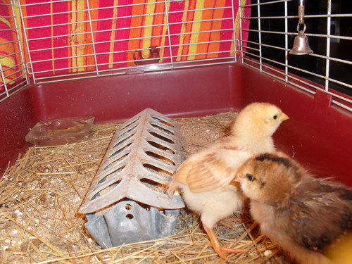 Baby Chickens!