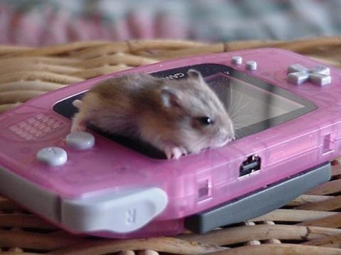 Dwarf Hamter :D