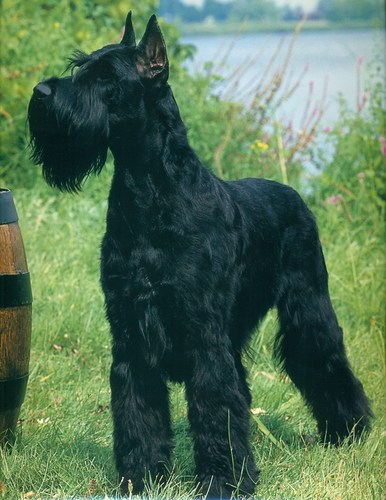 দৈত্য schnauzer দেওয়ালপত্র entitled Giant Schanuzer