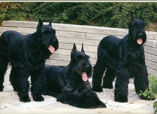 Giant Schnauzer wallpaper with a giant schnauzer called Giant Schnauzer