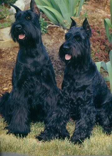 schnauzer gigante wallpaper containing a giant schnauzer entitled Giant schnauzer