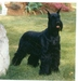 Icon - giant-schnauzer icon