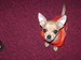 Your looken at cute - chihuahuas icon