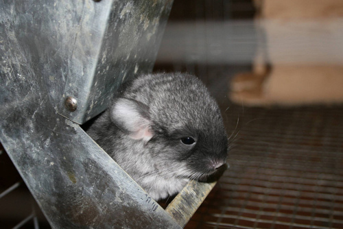 Chinchillas - chinchilla Photo