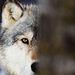 Wonderful Wolf