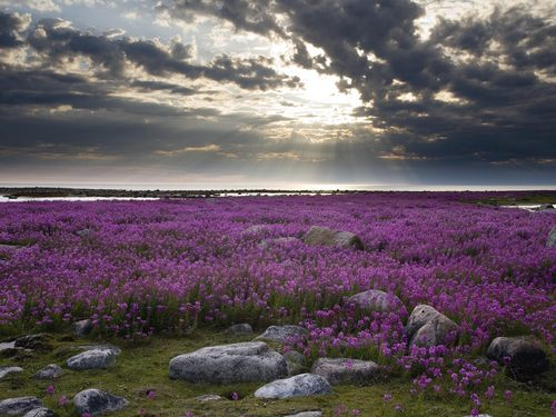 field of lavender Bunga