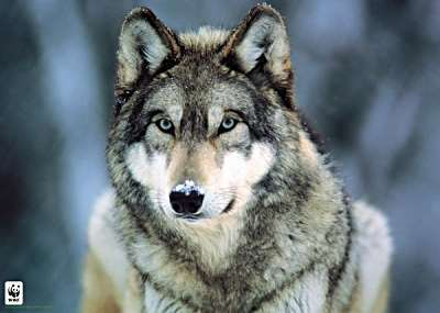 National Geographic achtergrond possibly containing a timber wolf and a wolf called Grey wolf