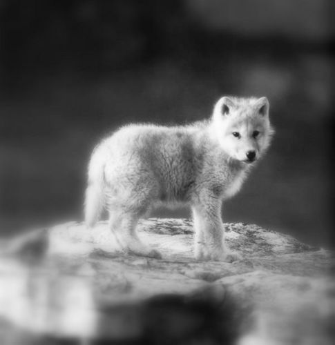Arctic lupo Pup